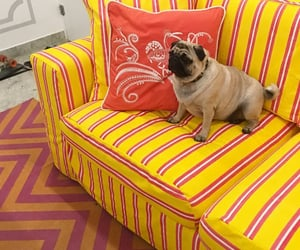 couch, dogs, and pugs image