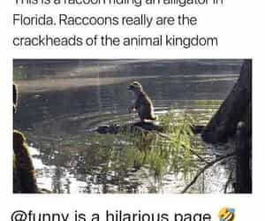 alligator, animals, and funny image