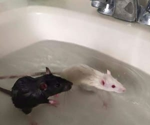rat and mouse image