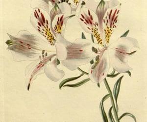 alstroemeria pelegrina and bhl:page=28887758 image