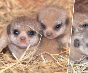 baby animals, cute animals, and meercats image