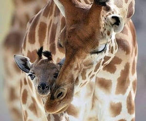 animal, giraffe, and naturaleza image