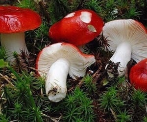 mushroom, fairy, and red image