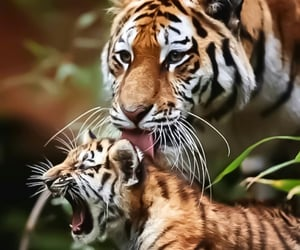 animal and tigers image