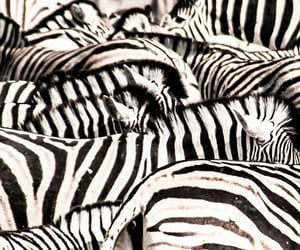 animals, black and white, and stripes image