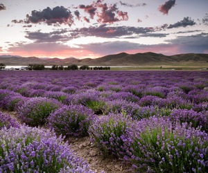 utah and lavender fields in mona image