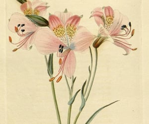 bhl:page=28859540 and alstroemeria hookeri image