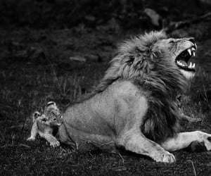 africa, cub, and black & white image
