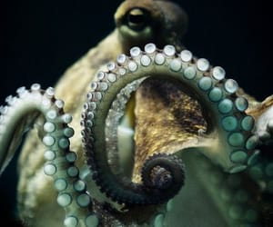 octopus and animal image
