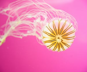 jelly and jellyfish image