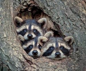 animal, nature, and raccoon image