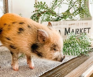 country living, home, and piglet image