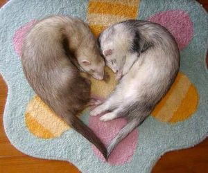 heart, ferret, and animal image