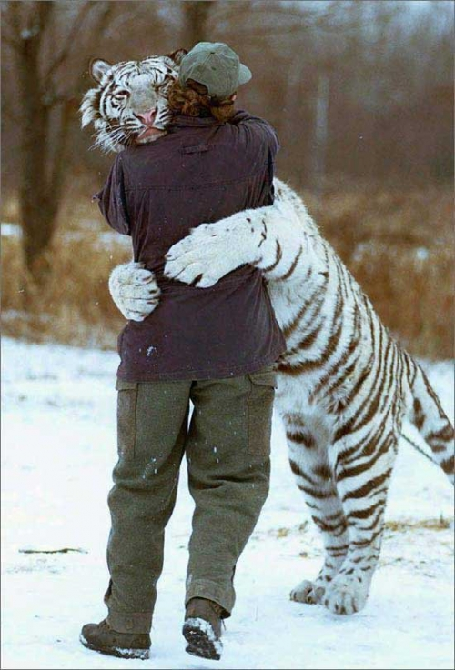 tiger, hug, and animal image