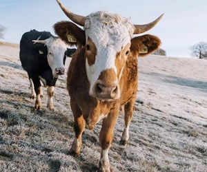 animal, animals, and cow image