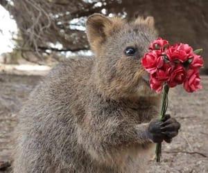 animal, cute, and quokka image