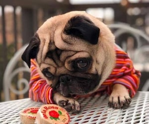 animals, pug, and puppy image