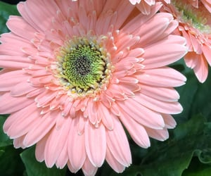 daisy, flower, and light pink image