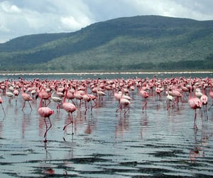 africa, Kenya, and flamingo image