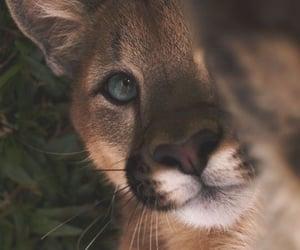 animal, cat, and puma image