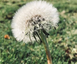 aesthetic, nature, and dandelion image