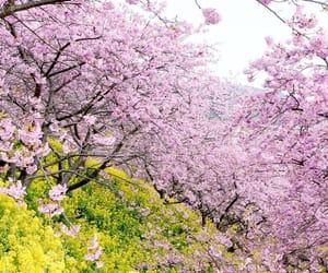 moonlightice Early blooming cherry blossoms 5年前の松田ハーブガーデン。 今8分咲きだそうです。来週行く予定です。
