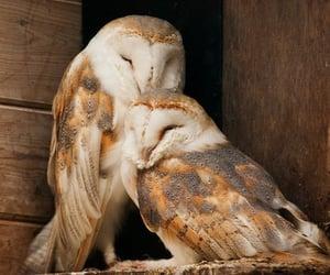 owl, love, and bird image