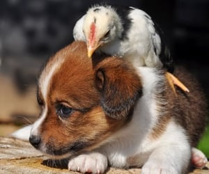 animals, pets, and Chick image