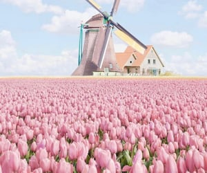 pink, tulips, and nature image