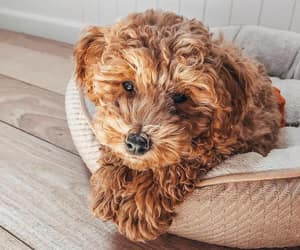 adorable, pet, and puppies image