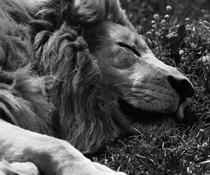 lion, cute, and beautiful image