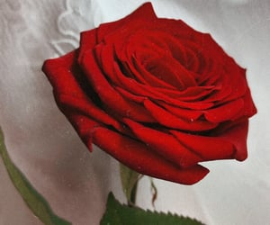 passion, red, and roses image