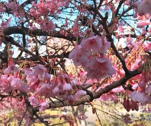 buenos aires, sakura, and pink image
