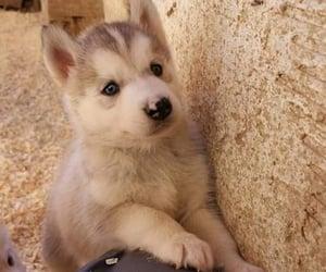 animals, baby, and huskey image
