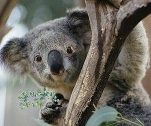 Animales, Koala, and naturaleza image