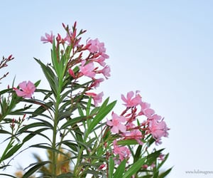 pink flowers, rare photographs, and rare images image