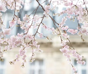 blossom, branches, and cherry blossom image