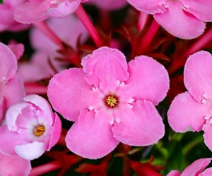flores, flowers, and pink image
