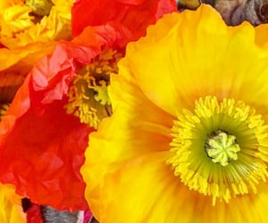 flores, poppies, and flowers image