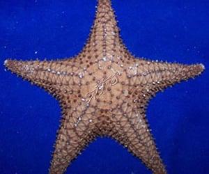 buy bahama starfish image
