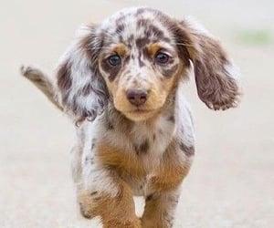 animals, dachshund, and dog image