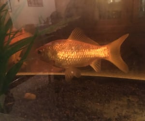 fish, gold, and nobody image