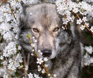 wolf, animal, and flowers image