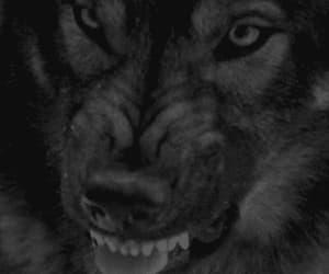 gif, licantropos, and lobos. image