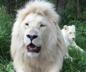 animal, animals, and white lion image