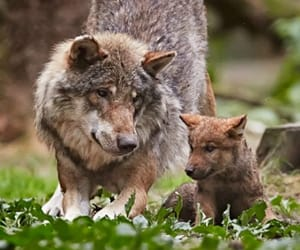 wolf, animals, and nature image