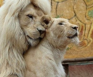 animal, couple, and lion image