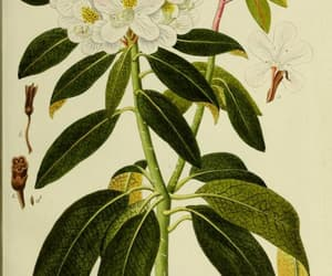 botany, scientific illustration, and shrubs image