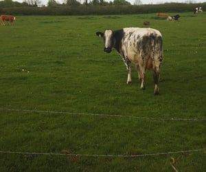 cow, field, and green image
