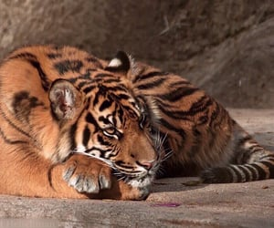 animal, tiger, and aesthetic image